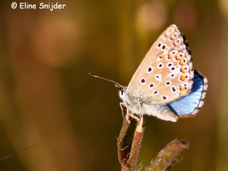 Adonisblauwtje - Lysandra bellargus | Vlinders Portugal