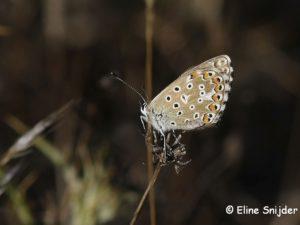 Adonisblauwtje - Lysandra bellargus Portugal