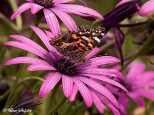 Amerikaanse Distelvlinder - Vanessa virginiensis Vanessa virginiensis Vlindervakantie Portugal