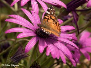 Amerikaanse Distelvlinder - Vanessa virginiensis - Vanessa virginiensis Vlinderreis Portugal