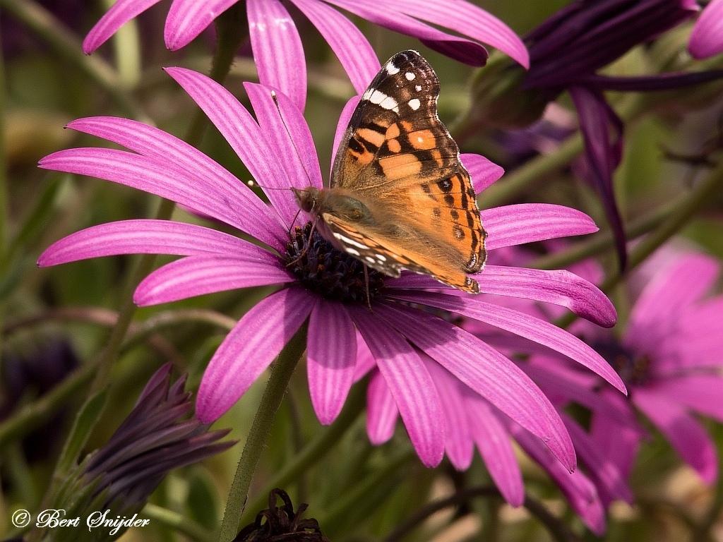 Amerikaanse Distelvlinder - Vanessa virginiensis | Vlinders Portugal