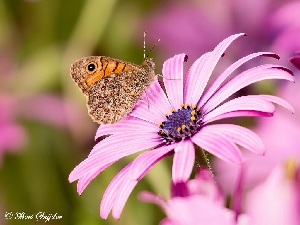 Argusvlinder - Lasiommata megera   Vlinders Portugal