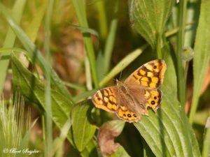 Argus vlinder - Lasiommata megera Portugal