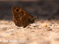 Argusvlinder - Lasiommata megera | Vlinders Portugal