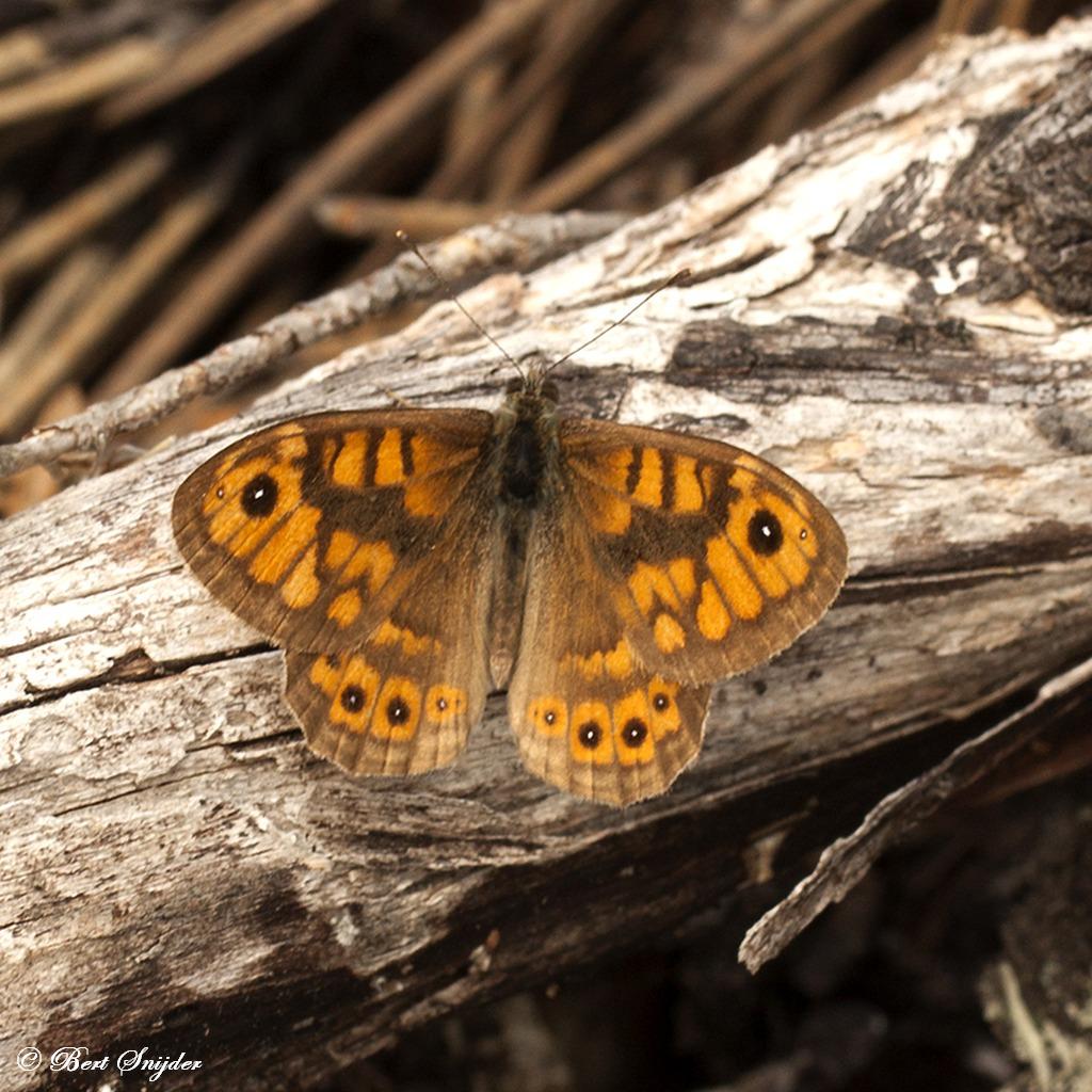 Argusvlinder Portugal