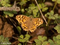 Bont Zandoogje - Pararge aegeria Vlinderreis Portugal