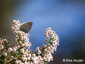 Boomblauwtje Vlinders Portugal