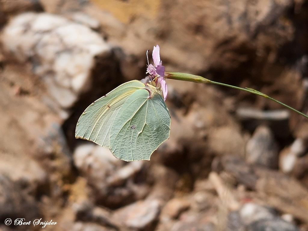 Citroenvlinder - Gonepteryx rhamni Portugal