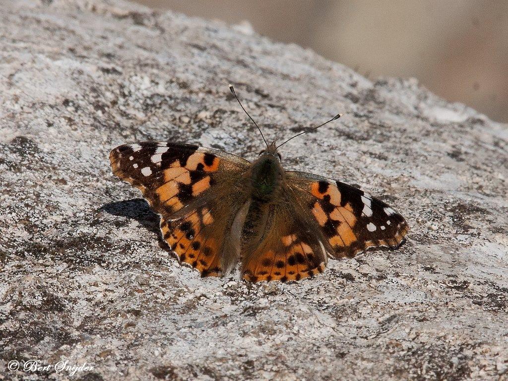 Distelvlinder - Vanessa cardui Portugal