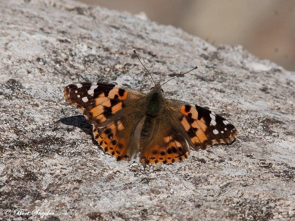 Distelvlinder Portugal