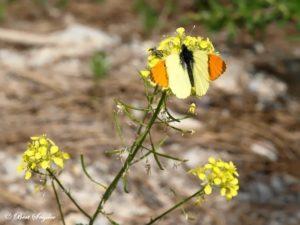 Geel Oranjetipje - Anthocharis euphenoides Portugal