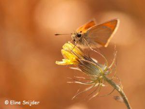 Geelsprietdikkopje Vlindervakantie Portugal