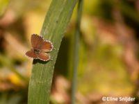 Geraniumblauwtje - Cacyreus marshalli