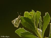 Gestreept Marmerwitje - Euchloe belemia Vlinderreis Portugal