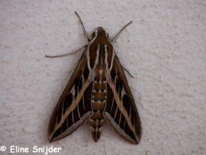 Gestreepte pijlstaart - Hyles livornica