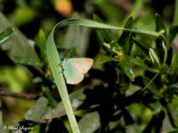 Groentje - Callophrys rubi Portugal
