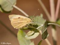 Groot Koolwitje - Pieris brassicae Vlinderreis Portugal