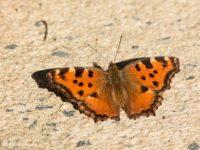 Grote Vos - Nymphalis polychloros Vlinderreis Portugal