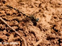 Grote tanglibel - Onychogomphus uncatusGrote tanglibel - Onychogomphus uncatus