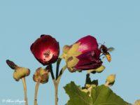 Hoornaar - Vespa crabro Portugal