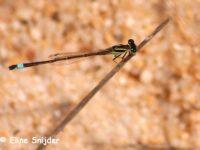 Iberisch lantaarntje - Ischnura graellsii
