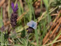 Icarusblauwtje - Polyommatus icarus portugal