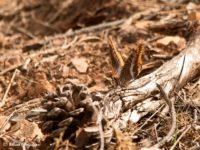 Jasiusvlinder Portugal