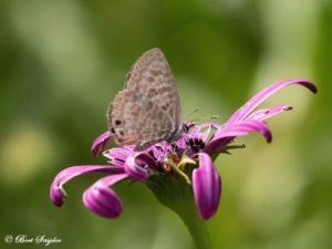 Klein Tijgerblauwtje - Leptotes pirithous Vlinderreis Portugal