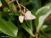 Klein Tijgerblauwtje - Leptotes pirithous Vlindervakantie Portugal