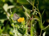 Klein Tijgerblauwtje - Leptotes pirithous Portugal