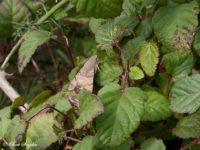 Kolibrievlinder - Macroglossum stellatarum Portugal