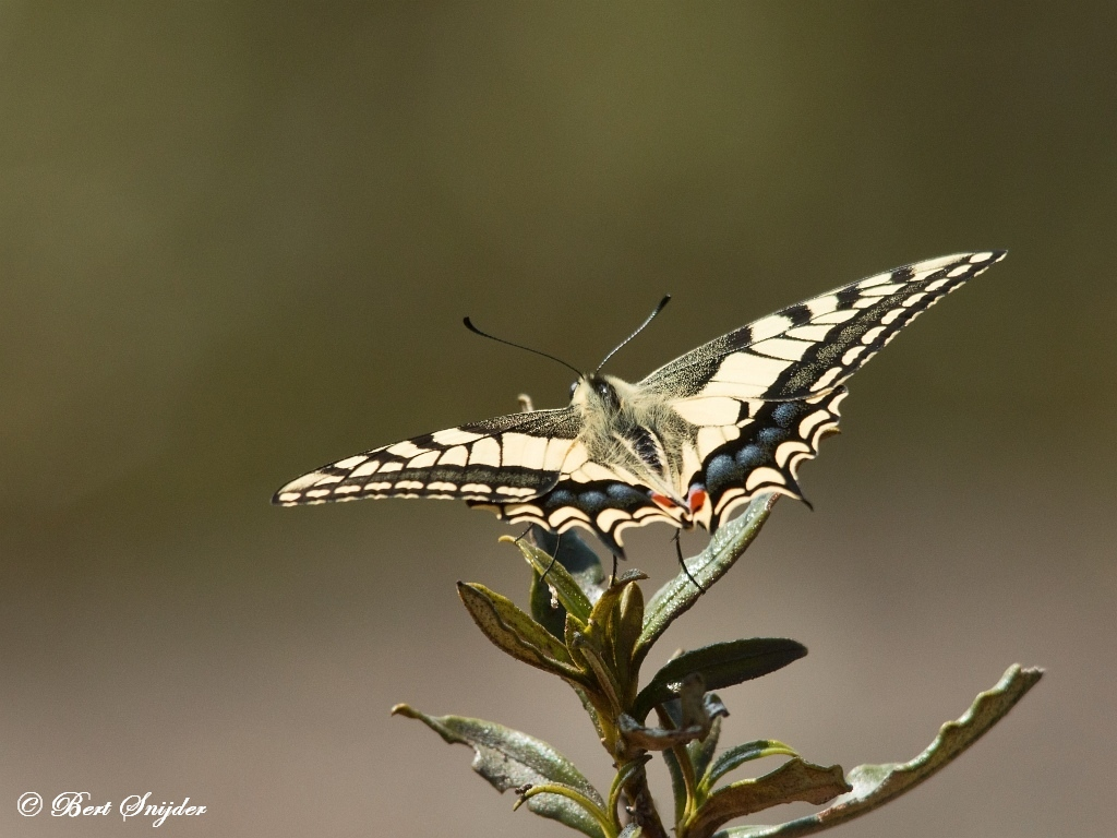 Koninginnenpage - Papilio machaon Portugal