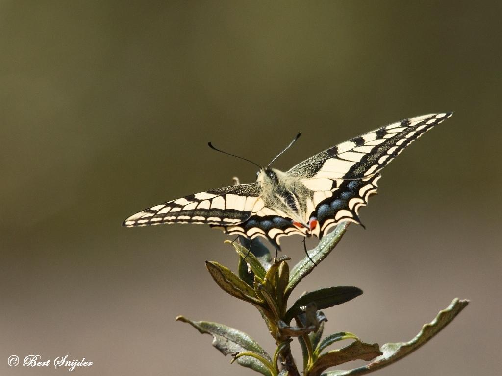 Koninginnenpage - Papilio machaon Portugal