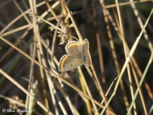 Moors Bruin Blauwtje - Aricia cramera Portugal