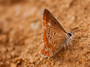Moors Bruinblauwtje - Aricia cramera Portugal