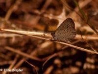 Moors Dwergblauwtje - Cupido lorquini