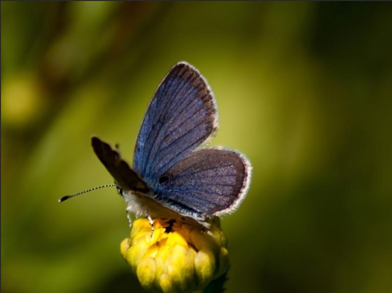 Moors Dwergblauwtje