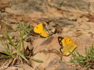Oranje Luzernevlinder - Colias Crocea Vlindervakantie Portugal