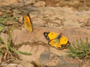 Oranje Luzernevlinder - Colias Crocea Vlinderreis Portugal