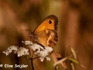Oranje Zandoogje - Pyronia tithonus