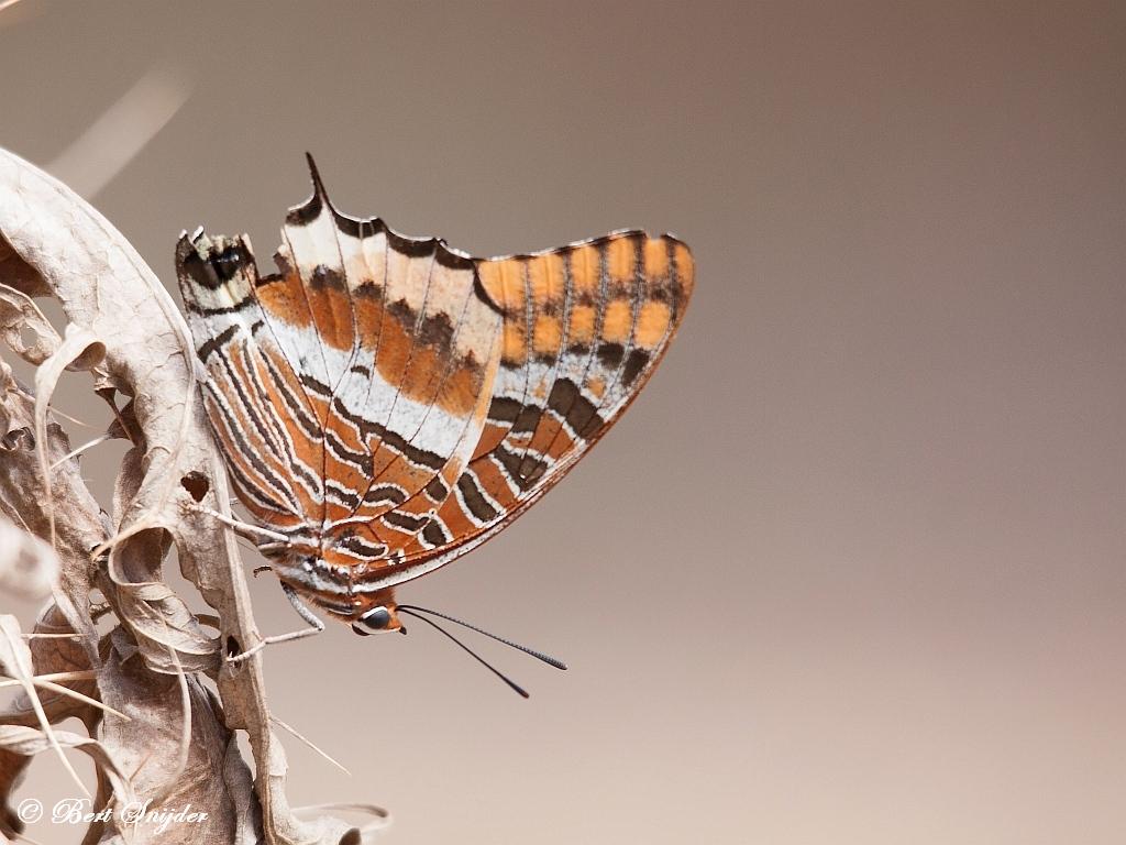 Pasja of Jasiusvlinder Portugal