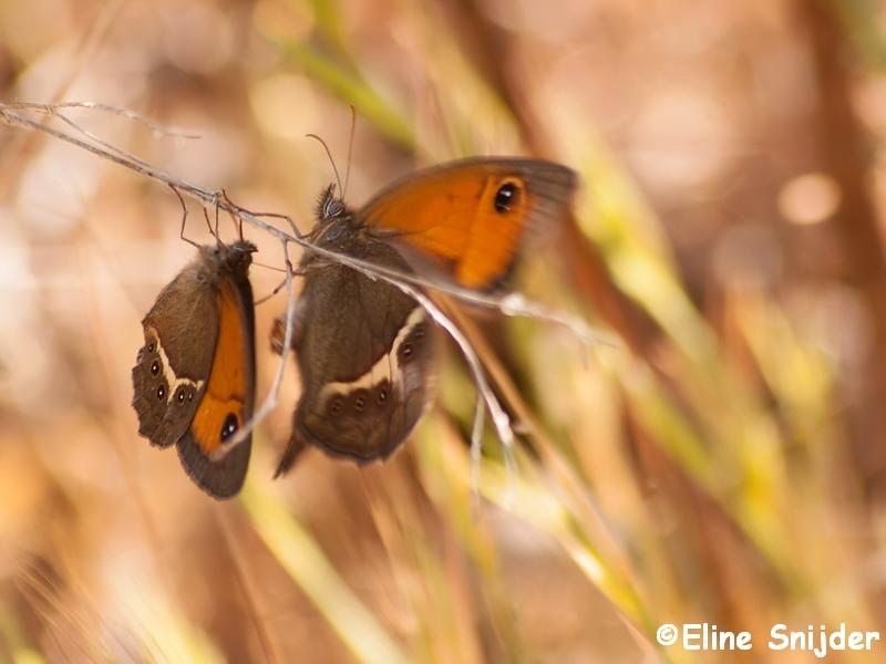 Spaans Oranje Zandoogje Vlinders Portugal
