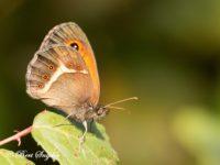 Spaans Oranje Zandoogje - Pyronia bathseba