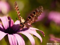 Pijpbloemvlinder - Zerynthia rumina
