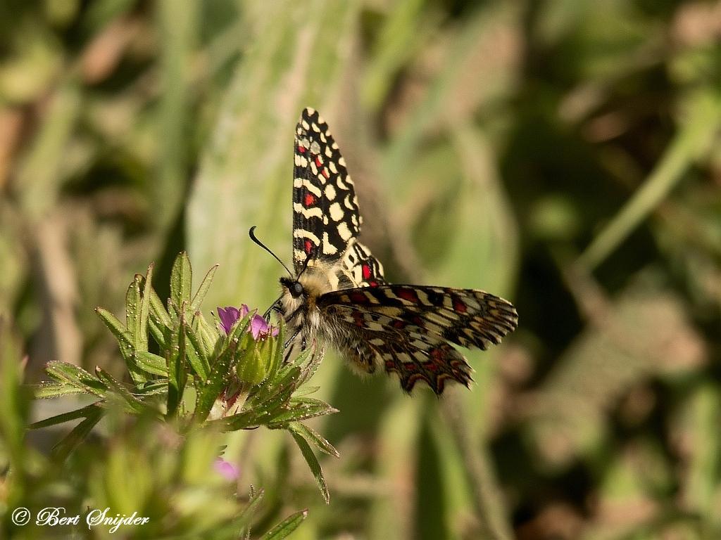 Spaanse Pijpbloemvlinder - Zerynthia rumina Vlinderreis Portugal