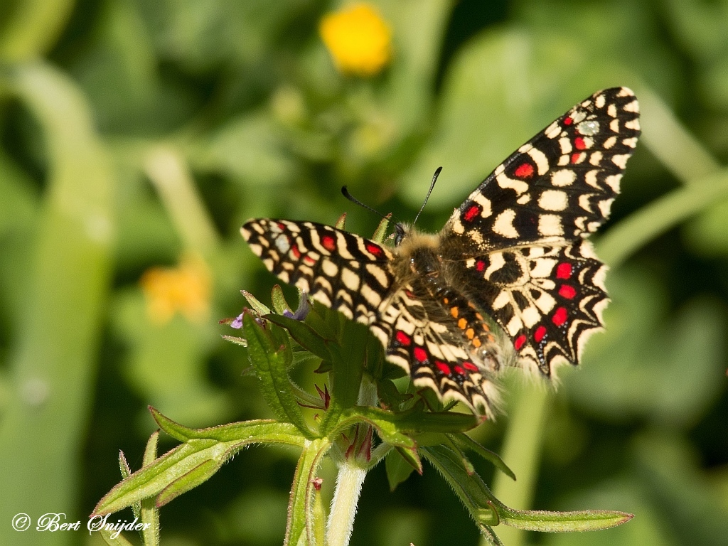 Spaanse Pijpbloemvlinder - Zerynthia rumina Vlindervakantie Portugal