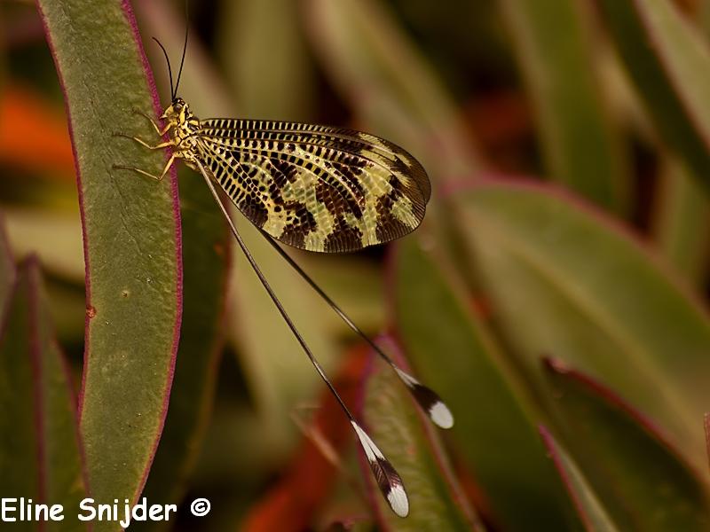 Spaanse Wimpelstaart - Nemoptera bipennis Portugal