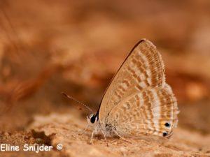 Tijgerblauwtje - Lampides boeticus Portugal