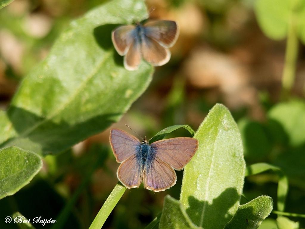 Tijgerblauwtje - Lampides boeticus Vlinderreis Portugal