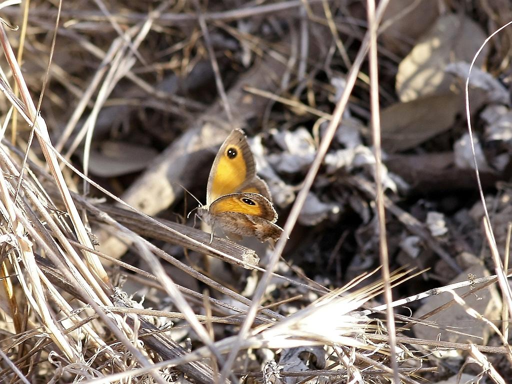 Zuidelijk Oranje Zandoogje - Pyronia cecilia Portugal